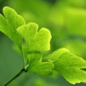 Ginkgo Biloba > What is Ginkgo Biloba? What are the Benefits of Ginkgo Biloba?